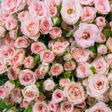 Троянда кущова